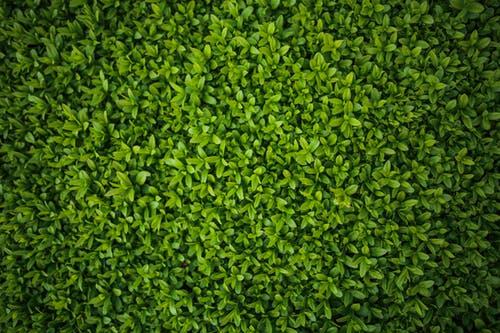 Groene haag